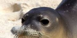 Pūlama i nā Kūpuna o ke Kai! Save the Endangered Hawaiian Monk Seal!