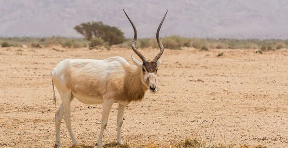 Addax at the Termit and Tin Touma National Nature Reserve