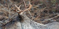 Ask British Columbia to protect the endangered mountain caribou