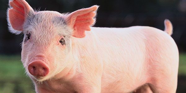 Demand an investigation into the cruel and inhumane slaughter of pigs
