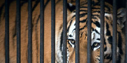Tigers Belong in the Wild- NOT at Nightclubs!