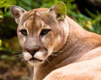 Nevada- Stop Killing Mountain Lions and Relocate Them