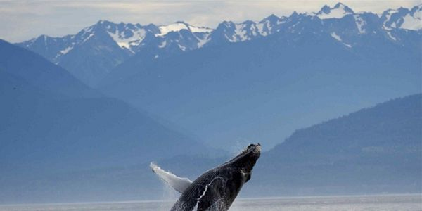 Tell Leona Aglukkaq To Protect Canada's Humpback Whales