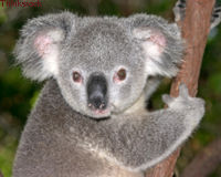 Tell Australian Environment Minister To Save Koalas