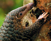 Help Save Pangolins