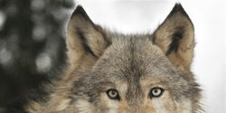 Stop the B.C. Wolf Cull!