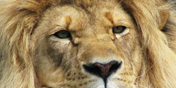 Protect African Lion as Endangered Species