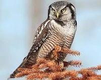 save the Russet Hawk-owl (Ninox odiosa)