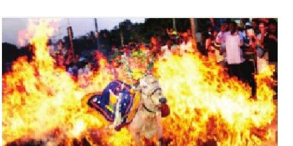 Ban Fire Jump of Cattle in India(karnataka) During Shankranthi