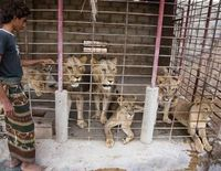 Stop Lion Farming in the Middle East