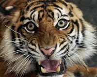 Tell Indonesia- Tigers Are Not