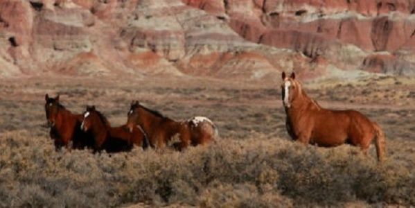 Stop the BLM from Rounding Up Wild Horses & Auction to Slaughterhouses!!