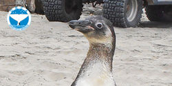 Demand Justice for 5 Endangered Penguins Killed at Peru Rescue Center