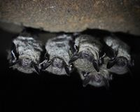 Save Bats, Keep the Rocky Mountain Caves Closed