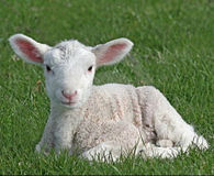 Stop Cruel and Painful Lamb Mulesing