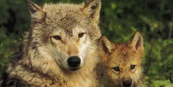 Stop Canadian Wolf Slaughter