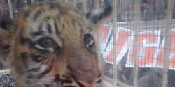 Stop the yearly Tiger Cub