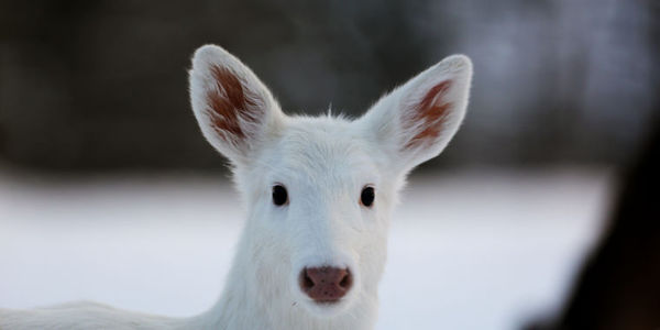 Stand Against the White Deer Kill in Wisconsin