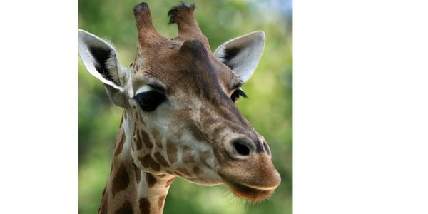 COPENHAGEN ZOO KILLED MARIUS - TELL THEM HOW YOU FEEL!!
