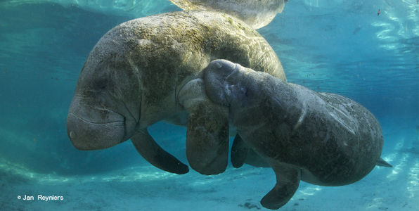 Demand that Manatees Maintain their Current Level of Protection!