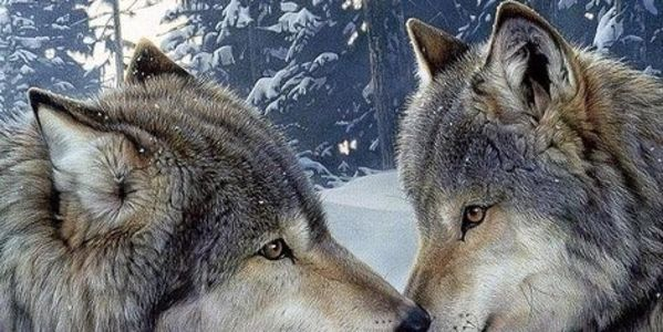 Demand Federal Protection of Wolves and coyotes in Idaho and Worldwide