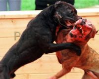 A disturbing picture taken of two dogs tearing each other apart for human entertainment.