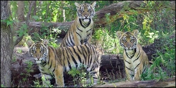 Save the Malayan Tiger from Extinction