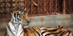Tell China- CLOSE Tiger Farms!