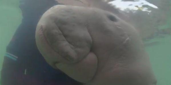 Marium the dugong