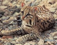 Save Ocelots from Arizona Mining