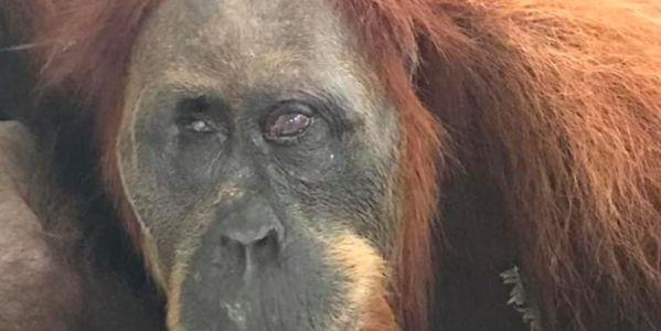 Orangutan named Hope