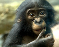 Sanctuary for Chimpanzees, Not Medical Research