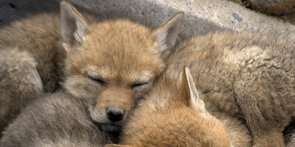 Don't Use Coyote Fur in Your Products