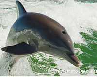 Don't Let BP Off Easy:Gulf's Dolphins Still Dying
