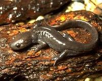 Urge Minister Gravelle to Save Endangered Species (Jefferson Salamander) from 4 Lane Highway