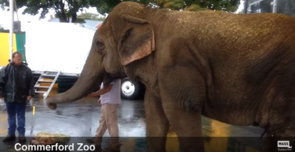Elephant at Commerford Zoo