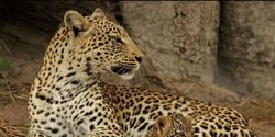 Stop Killing Leopards for Religious Ceremony Clothing