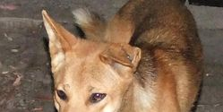 Call Upon the Australian Government to Protect the Dingo