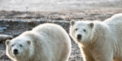 Stop the Polar Bear Rug Trade