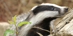 Stop the Badger Culls!