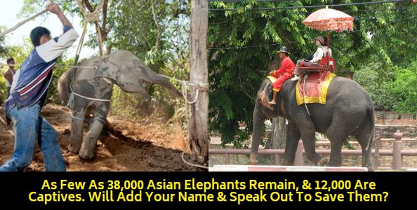 captive elephants being abused