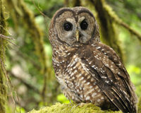 Protect the Northern Spotted Owl