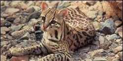 Protect Endangered Ocelot from Copper Mining in Arizona