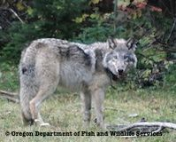 Don't Delist Endangered Gray Wolves!