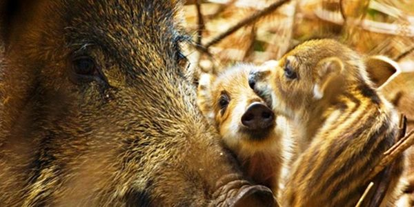 Save the Wild Boar from Extinction in the UK