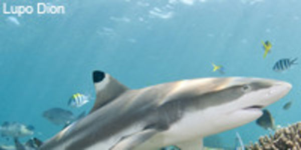 Help Save Sharks in California: Support Bill AB 376