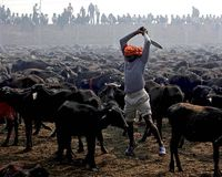 Stop the Gadhimai Massacre 2014
