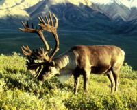 Save Endangered Caribou Petition