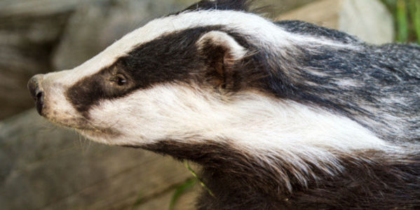 Stop The UK Badger Cull