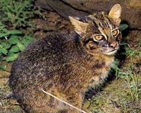 Save the Iriomote cat from extinction